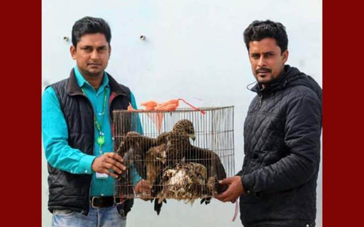 Two Black Kites (Bhubon Chil) of endangered species were rescued in Sirajgonj, Bangladesh