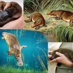 A Rare Species of Platypus in Australia in Existential Crisis