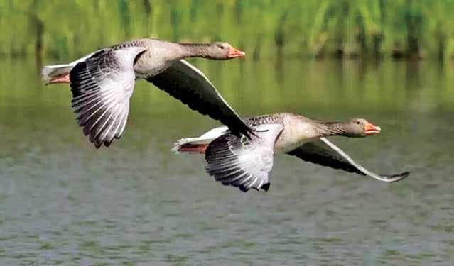 Different species of guest birds have flown for shelter in Karatoya River