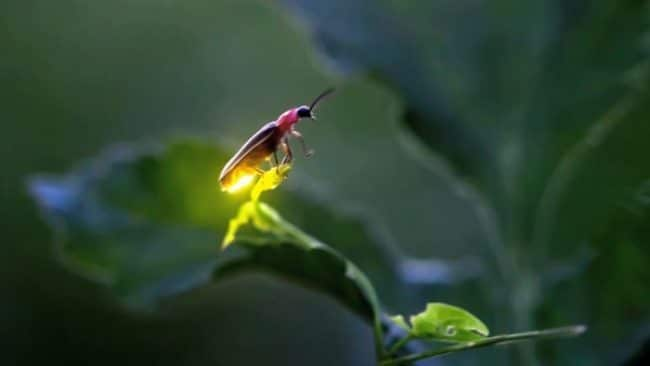 Fireflies on the way to extinction due to environmental degradation
