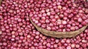 Farmers Hopes Bumper Yield of Onion in Puthia, Rajshahi, Bangladesh