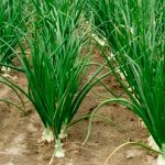 Farmers Hopes Bumper Yield of Onion in Puthia, Rajshahi, Bangladesh