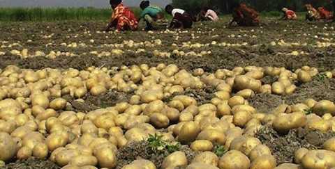 The Bumper Yield of Potatoes In Thakurgaon
