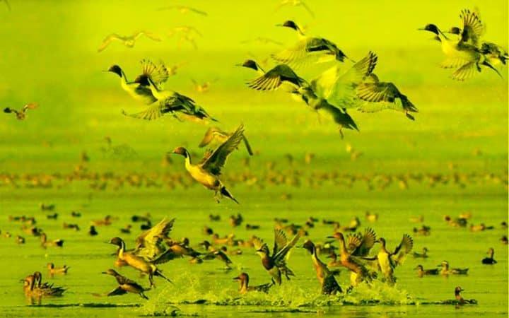 Migratory-birds-of-Bangladesh