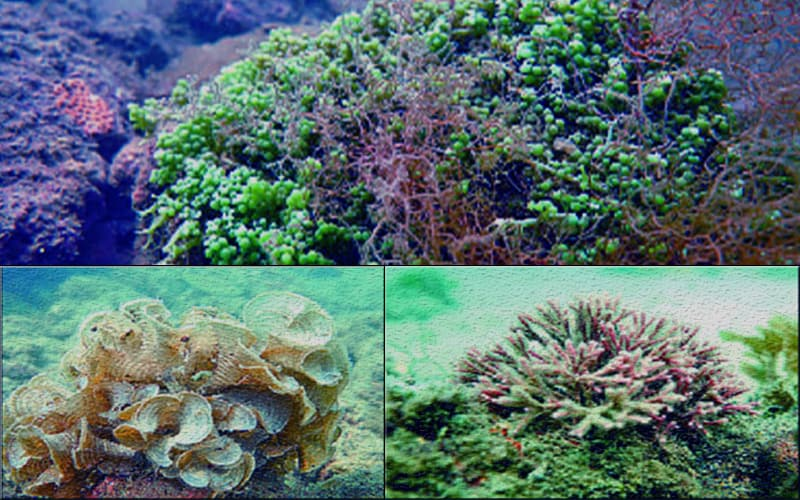 Three new species of seaweed discovered in the Bay of Bengal
