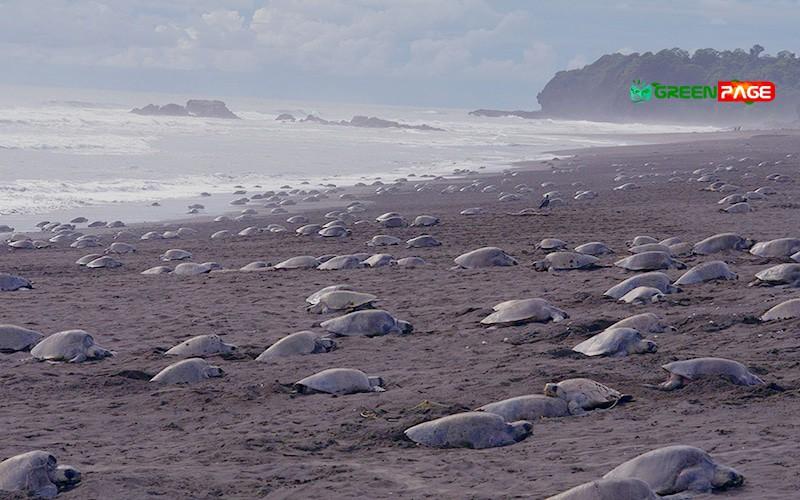 Olive Ridley Turtles occupied the Rushikulya Sea
