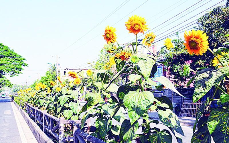 Sunflowers are enhancing the beauty of Rajshahi city, Bangladesh