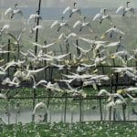 The sight of the flock of white Egrets is a delight to the eye