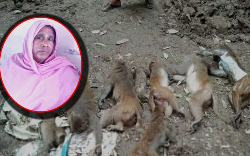 A woman claimed responsibility and sent to Jail for killing the monkeys in Madaripur, Bangladesh