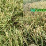Boro Paddy harvesting progress achievement is 62% till 29 April in the Haor areas of Bangladesh