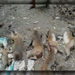 By poisoning 11 Monkeys of Rare Species were killed in Charmuguria, Bangladesh