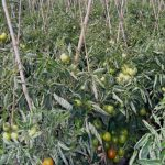 Coronavirus crisis Bangladesh Police have taken the initiative for Tomatoes
