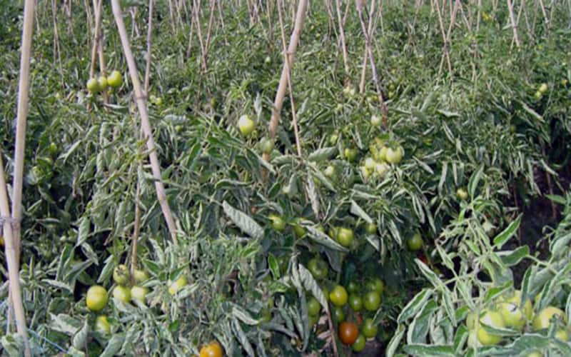 Coronavirus crisis Bangladesh Police have taken the initiative for Tomatoes