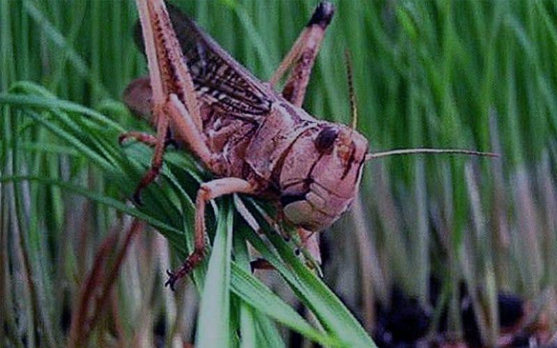 Iran to lose $7 billion in the outbreak of locusts