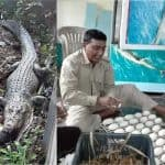 Crocodile Juliet lays 52 eggs at the Karmjal Wildlife Breeding Center, Bangladesh.