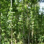 Plantation of Indigenous Species to Conserve Biodiversity in Madhupur, Bangladesh