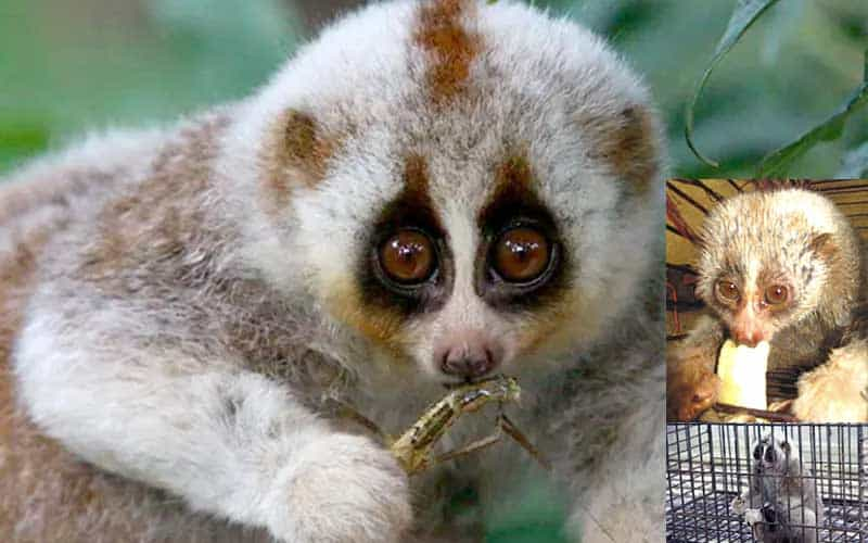 Rare Bengal Slow Loris rescued in Chattogram
