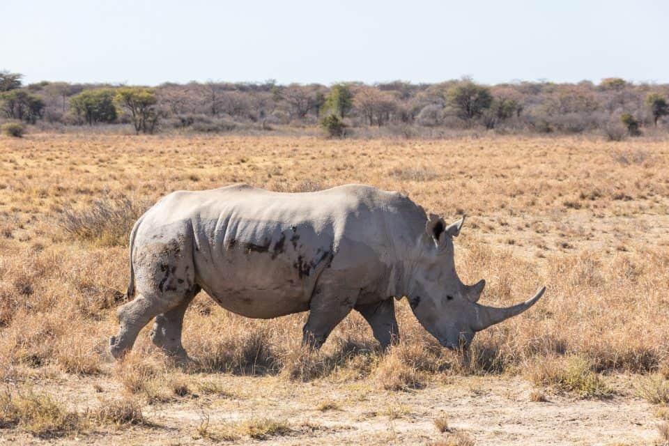 White Rhinoceros – the World Second-largest Land Mammal Animal