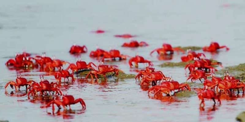 Red Crabs Swarm Found on Parky Beach in Chattogram, Bangladesh