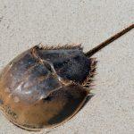 The horseshoe crab is key to inventing the coronavirus vaccine