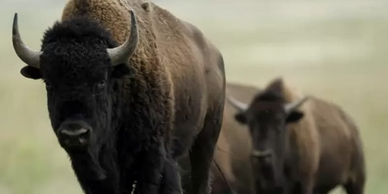 Wild bison are returning to the UK 6,000 years