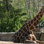 The world's tallest giraffe Forest