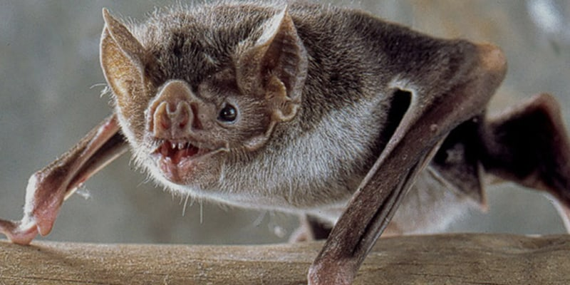 Why Don't Bats Get Infected With Viruses Being The Perfect Hosts For So Many Viruses