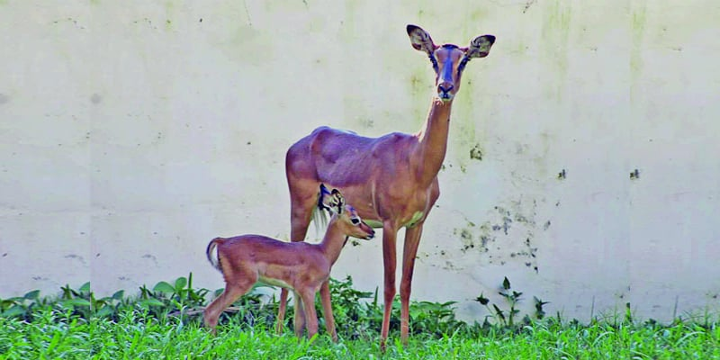 Bangladesh National Zoo New Member in Impala's Family
