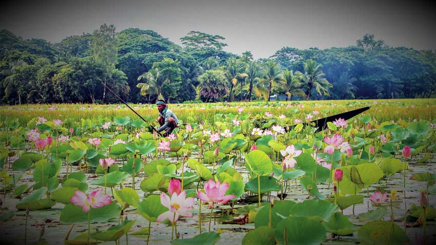 Bhutia's Beel has become a wonderful place with magical beauty because of the lotus flower