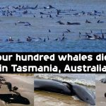Four hundred whales died in Tasmania, Australia
