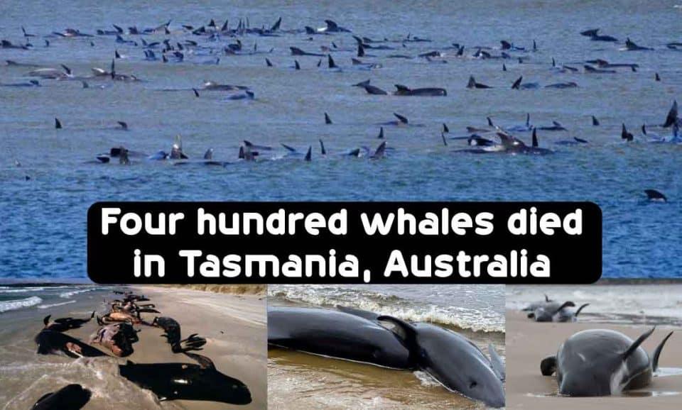 Four hundred whales died in Tasmania, Australia