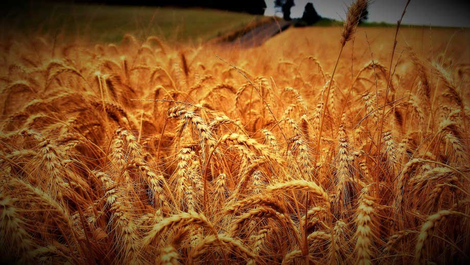 Good News for Farmers, Invention of New Technology to Identify Wheat Fungi