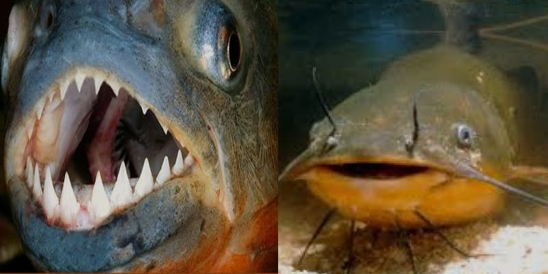 Reasons for Banning Piranha and African Catfish