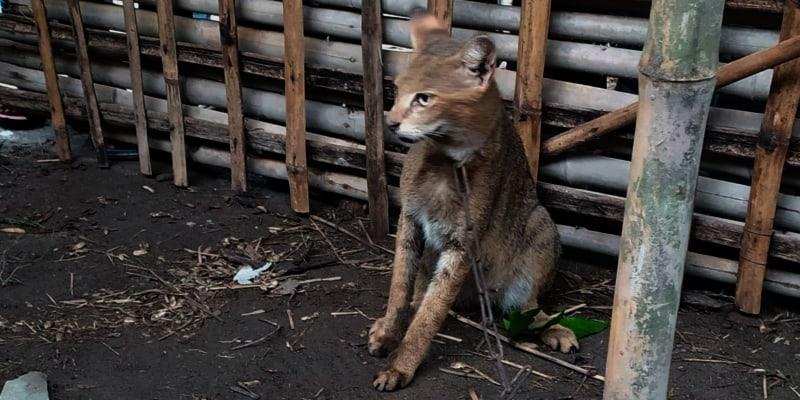 Tiger Cat is Killed in Tentulia