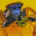 A new species of Spider having dark blue-eye saw in Australia