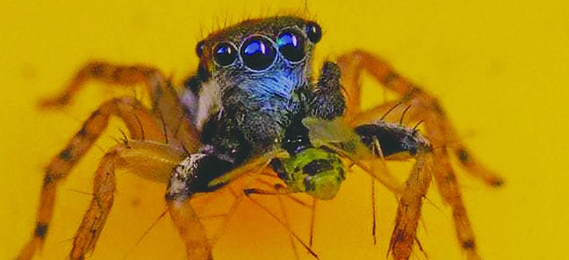 A new species of Spider having dark blue-eye saw in Australia