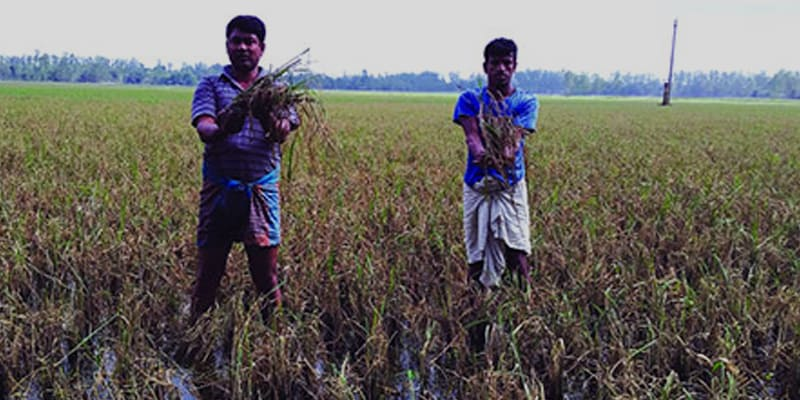 Aman Paddy of 16 Hectares of Land has Rotten
