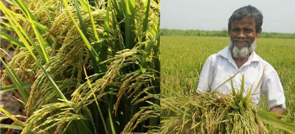 Bumper Crop Even in Adverse Weather: BRRI-75 Rice Cultivation