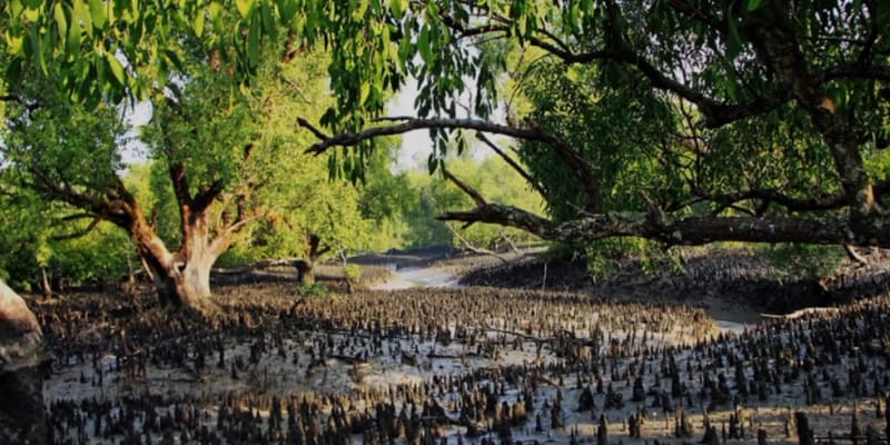 Increased salinity in the Sundarbans has reduced the growth rate of seedlings of 10 species of Plants