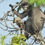 Scientists discover new species of monkey in Myanmar's jungle
