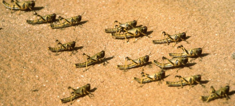 The threat of desert-locust infestation again in Africa, the spread of billions of descendants