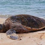 Thousands of turtles lame overnight! Why such a stage