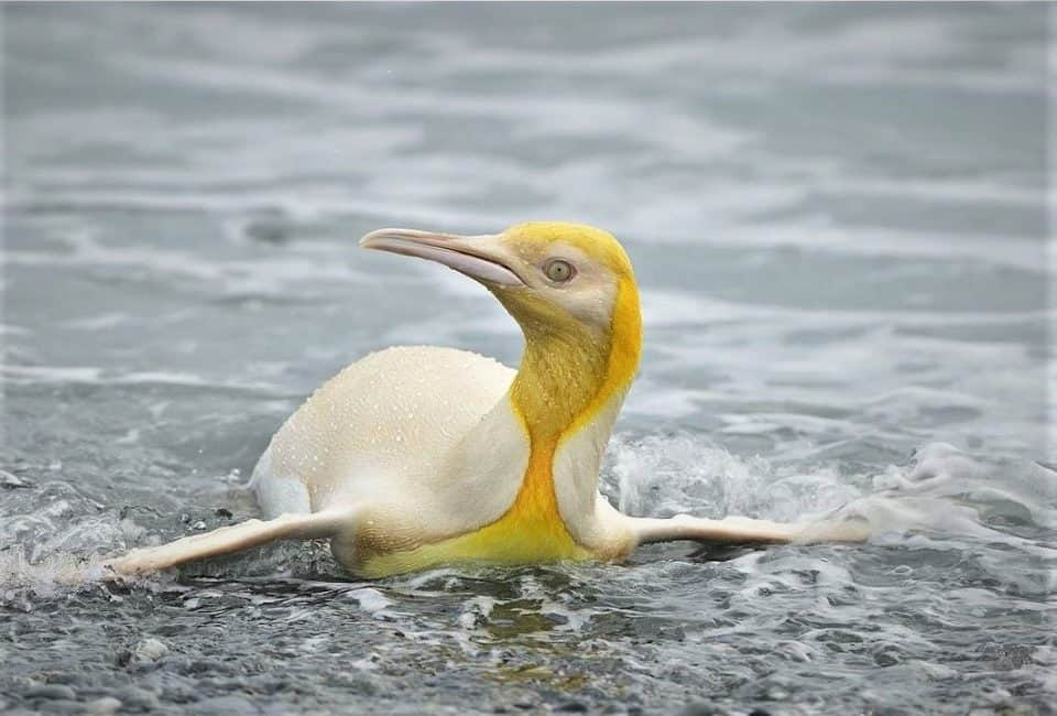 For the first time camera caught the yellow penguin