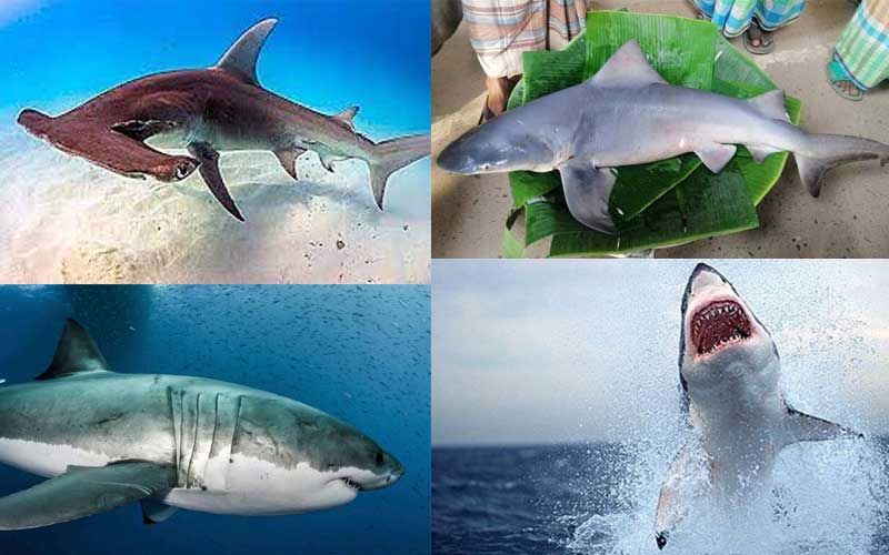 Has Shark considered a popular food in Bangladesh