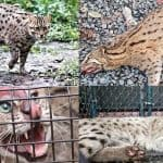 The reproduction of Fishing Cats is increasing in the artificial Conservation in Kolkata